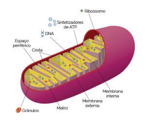 Mitocôndrias