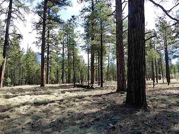 Covington Ponderosa Pine Forest
