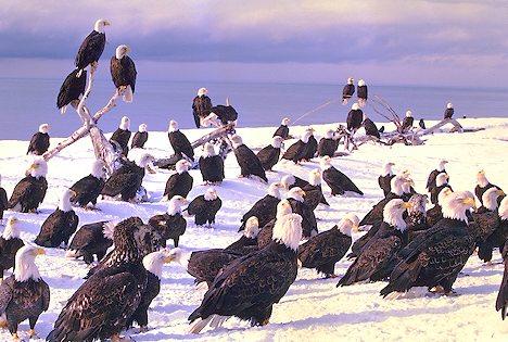 Bald Eagles congregate on Homer Spit