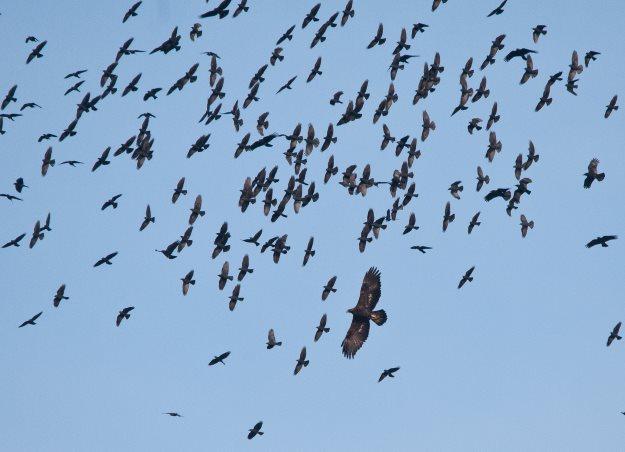 Golden Eagles flock in the sky