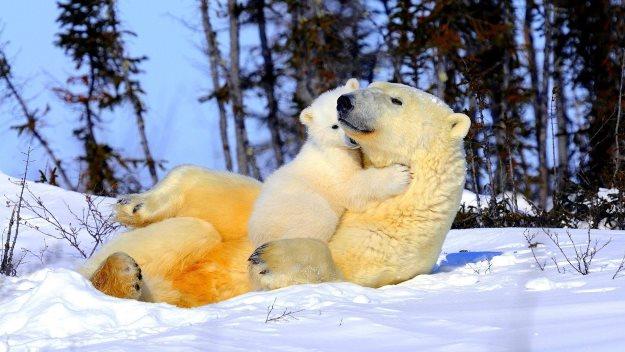 Happy polar bears