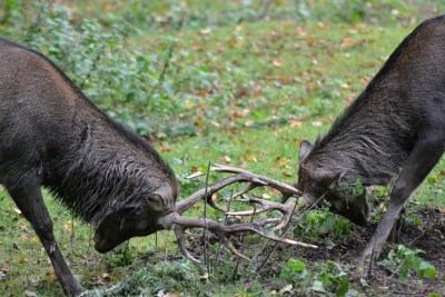 Male deer fighting, horn to horn