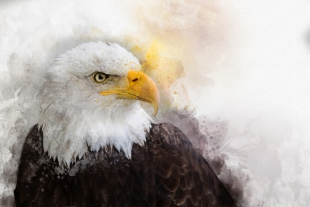 Bald Eagle head - dreamstime_133550595