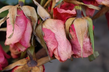 Dead Roses - dreamstime_13523791