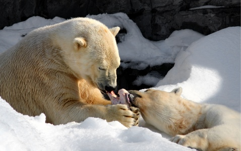 Two Polar Bears Share a meal.