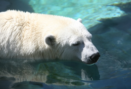 A sad polar bear resting in the water