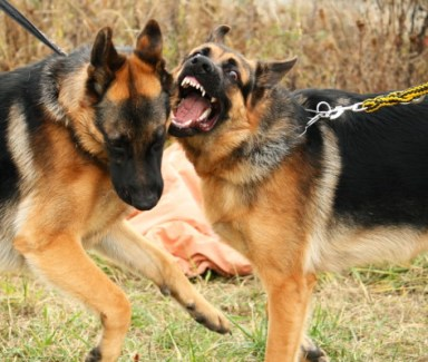 Two fighting german shepherd dogs.