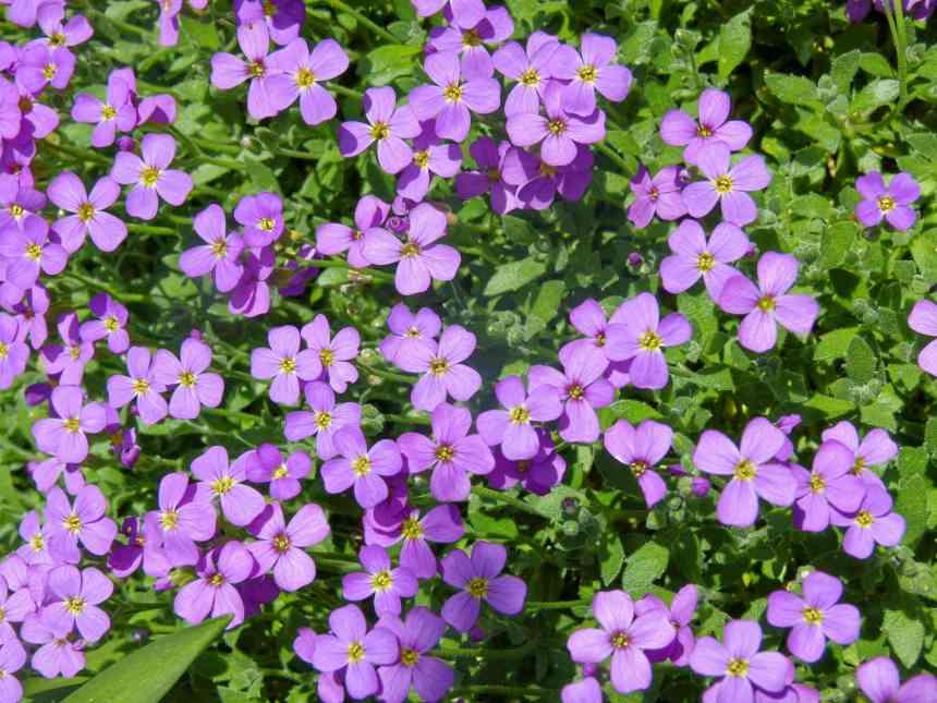 Purple Aubrieta
