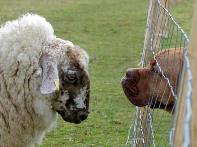 Sheep and Libby