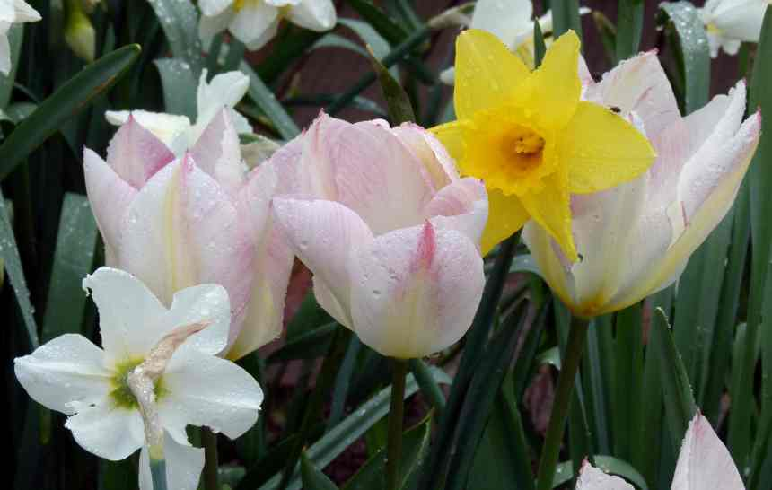 Raindrops on Tulips and daffodils