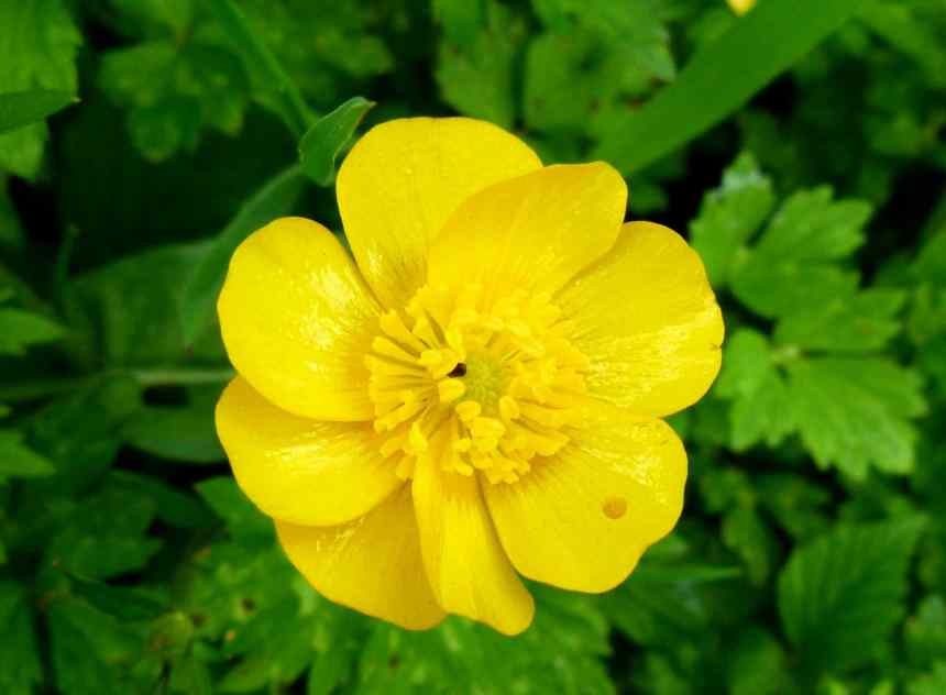 Yellow Buttercup Close-up