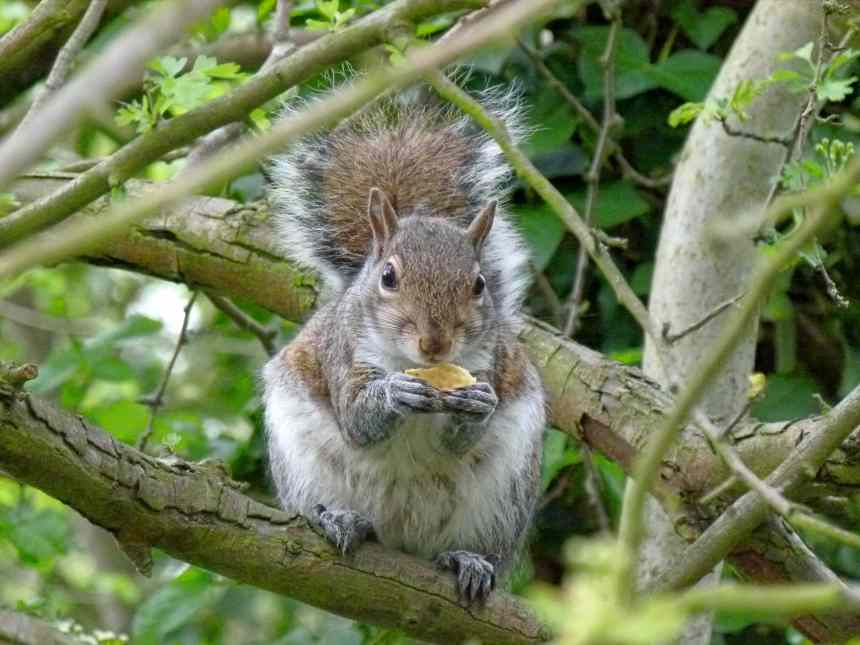 Squirrel Eating Cheddars