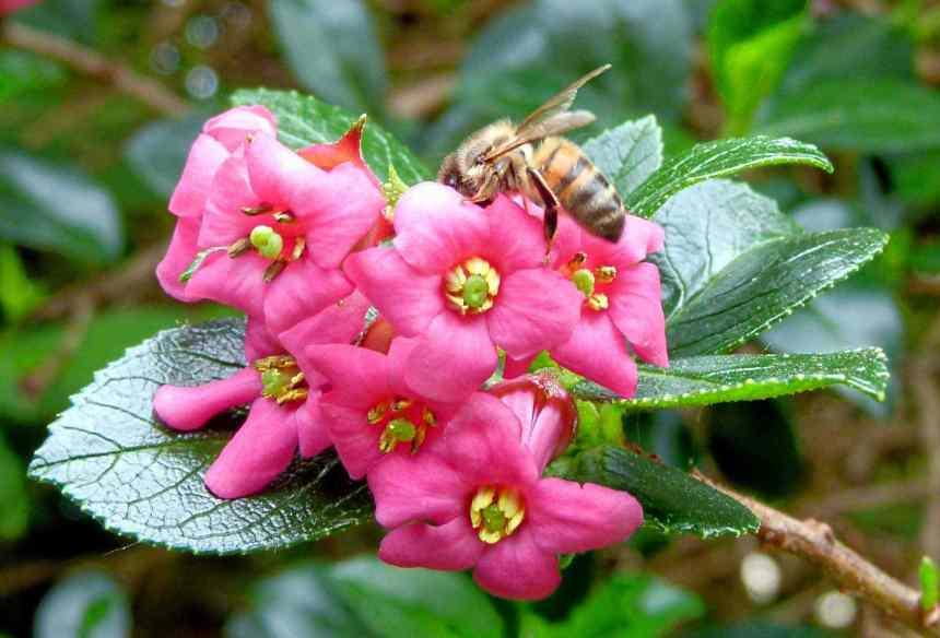 Bee on Escallonia rubra var macrantha