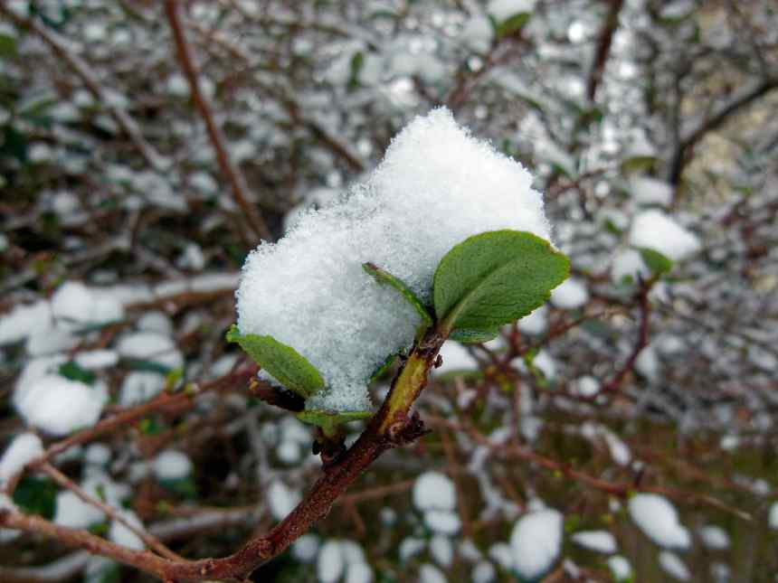 Snowball on Snowball (European Cranberry) leaves