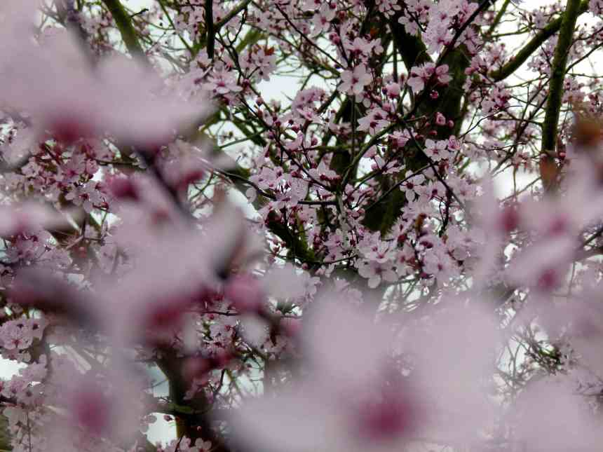 Blossoms and grey skies