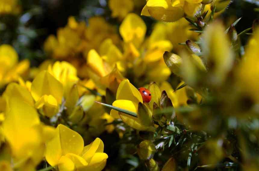 Ladybird on a Gorse bush