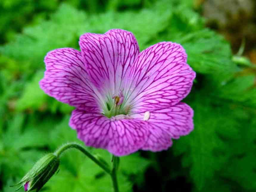 Pink veined Geranium