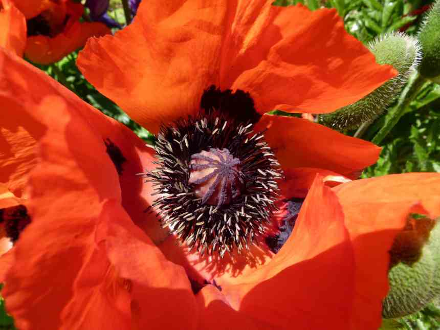 Giant Red Poppy