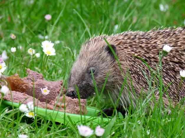 Hedgehog Horace 2 low res