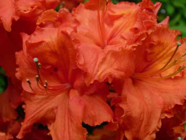 orange azaleas 2 low res