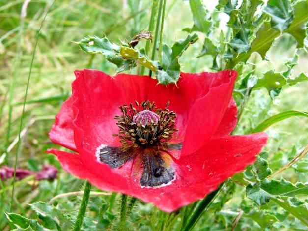 Poppy exposed low res