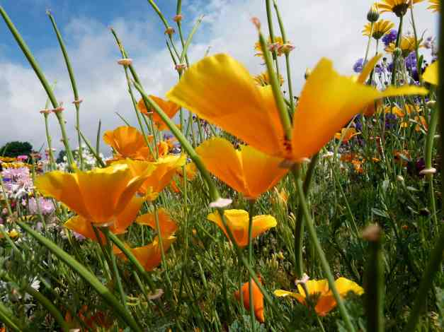 Californian poppy cluster low res