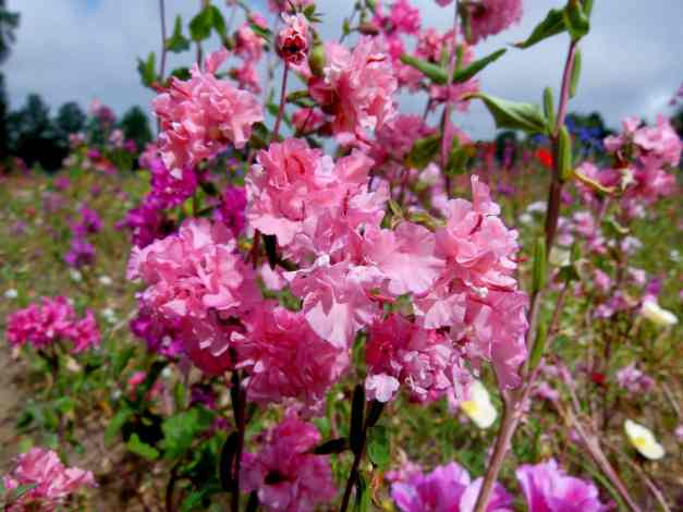 Clarkia, Mountain Garland low res