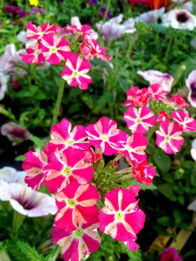 Verbena pink stripes low res