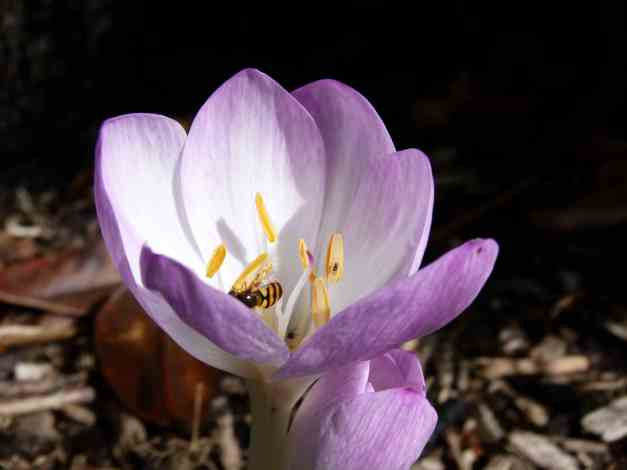 Autumn Crocus hoverfly 3 low res