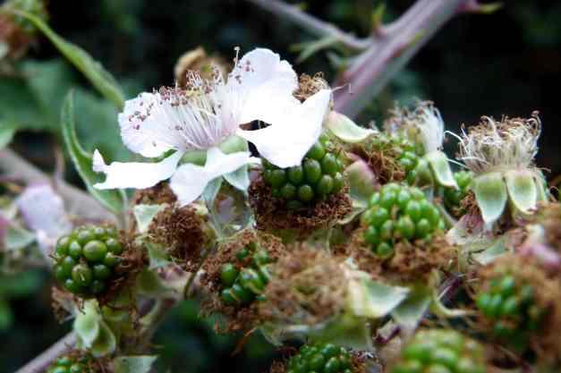 Blackberries forming low res