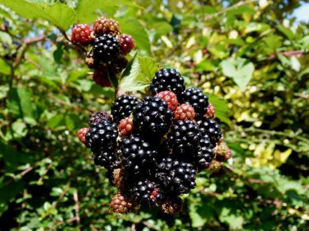 Blackberries ripening 5 low res