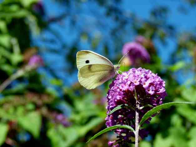 Buddleia and white butterfly low res
