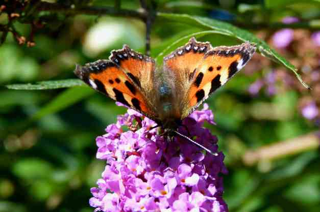 Buddleia tortoise butterfly low res