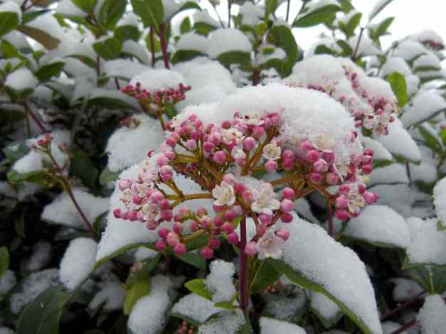 pink virburnum in snow low res