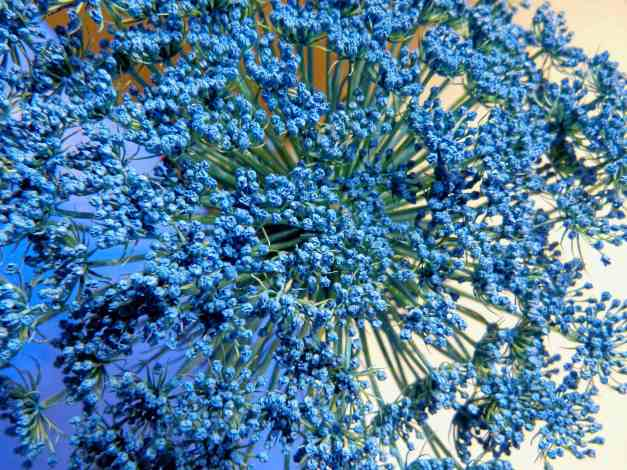 Wild Carrot flower blue7 low res