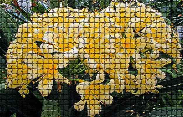 Clivia mosaic low res