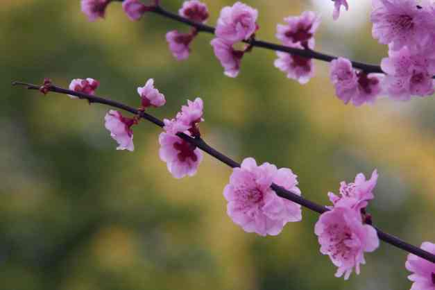 Cherry blossoms sprig low res