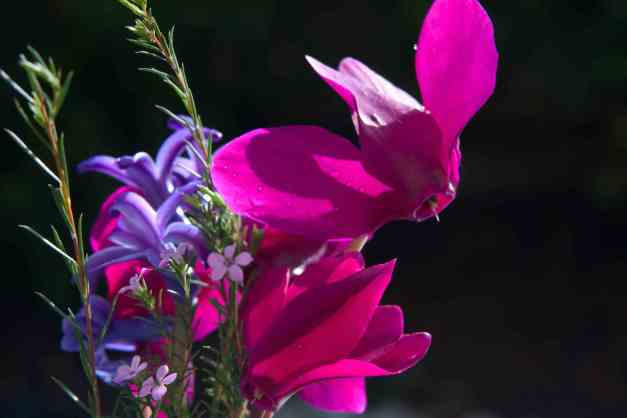 Cyclamen pink 4 low res