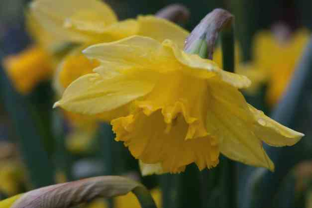 Daffodil after rain low res
