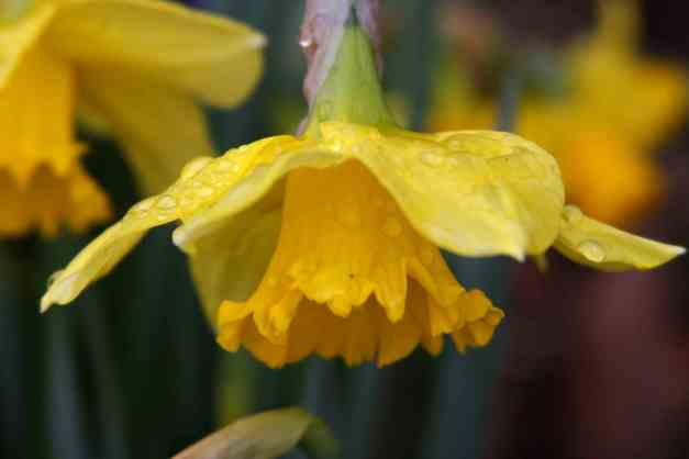 Daffodil wet 1 low res