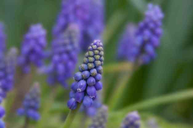 Muscari blue 1 low res