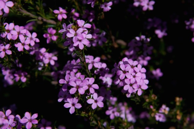 Pink breath of heaven shrub