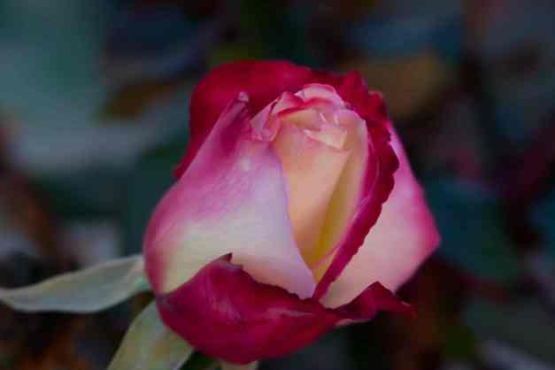 Rose variegated opening low res