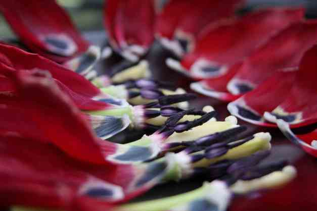 Tulip Petal Art 10 low res