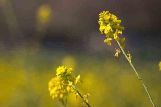 Black mustard 7 low res