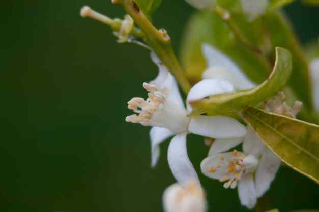 Clemetine blossom wet low res