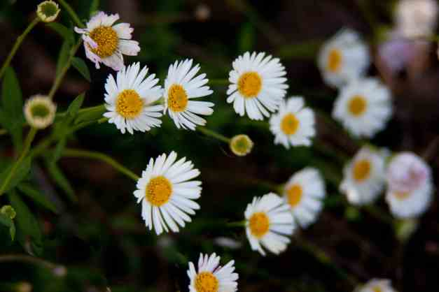 Daisies cluster low res1