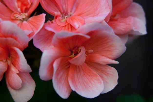 Geraniums pink 3 low res