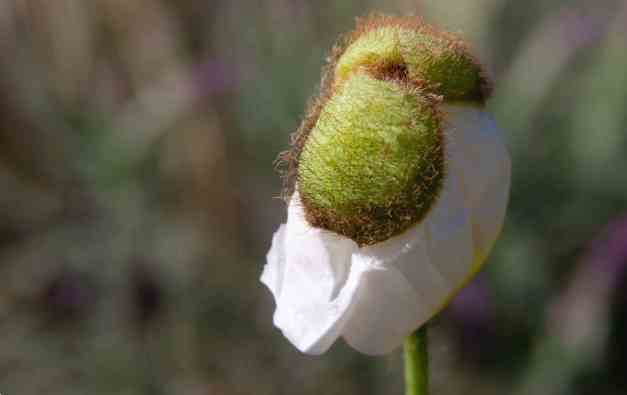 Poppy bud low res