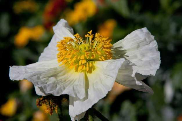 Poppy white low res1